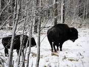 Plains Bison: Mother & Calf