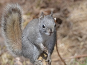 Gray phase Red Squirrel