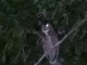 Great horned owl in the tree