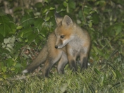 Three red fox kits playing in my backyard