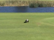 An alligator walks on the fairway today st the Zurich Classic