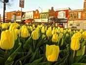 Tulips in Pella