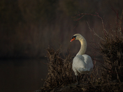 Mute Swan selecting the Nest site