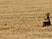 Deer in wheat