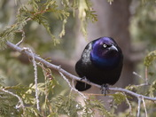 GRACKLE BEING A GRACKLE...