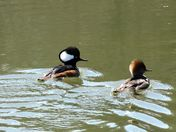 Merganser at the marsh
