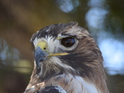 Hawk close-up