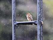 RAINY/SNOW DAY SPARROW