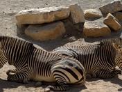Chilling Zebras