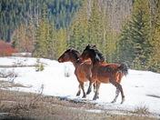 Wild Horses of Alberta 2