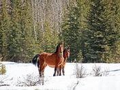 Wild Horses of Alberta 3