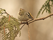 Golden  Crownd kinglet