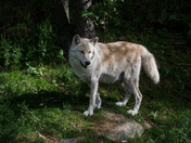 Timber Wolf In The Woods
