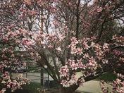 Our beautiful magnolia tree!