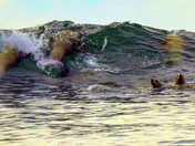 Surfing Sea Lions