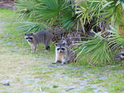 Their are very many racoons at Ponce Inlet in Daytona