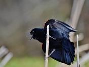 Red wing blackbird singing, ready to take off.