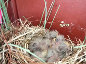 Baby robins in our doorway