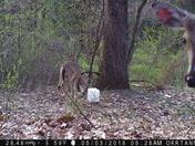 Deer photobombs game camera