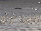 Panning ducks