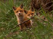 Farm Foxes