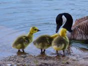 mom and her goslings