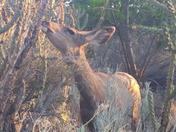 Deer eating