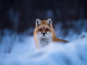 Blue hour Red Fox