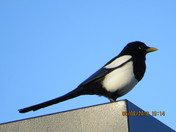Magpie bird on streetlight