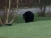 Black Bear on the prowl