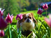 Oliver surrounded by tulips!!!! 🌷🐶😍