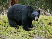 Black Bear awakens