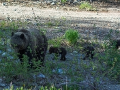 Grizzly & 3 small cubs 03