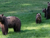 Grizzly with 3 cubs 22 ( momma & cubs on lawn)
