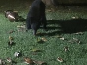 Bear in Anderson City Limits