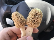 Polk County Morels