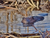 Baby beaver swimming, looking at me.