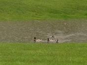 Duck weather