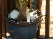 Cat, Molly, enjoying outide in odd location, the planter!