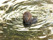 Mother And Baby Muskrat