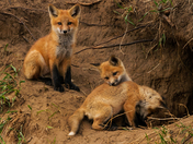Fox Kits/Lynden On