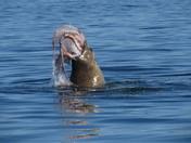 Stellar sea lion v. octopus