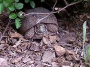 Turtle coming out of her den in the bush