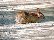 Rabbit in Richmond