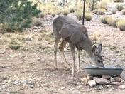 Starving Deer