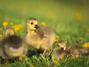 RG_425 | Canadian Geese