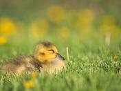 RG_430 | Canadian Geese