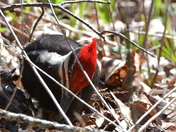 Pileated eating ants