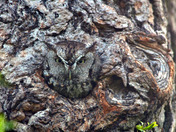 Eastern Screech Owl well hidden