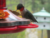 Male Humminbird and Oriole